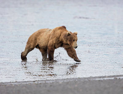 Photograph - Male Brown Bear At Low Tide by Gloria Anderson