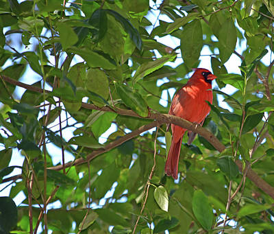 Photograph - Male Cardinal by Aimee L Maher ALM GALLERY