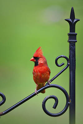 Beers On Tap - Male Cardinal by Amy Jackson