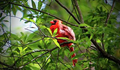 Photograph - Male Cardinal Beauty by Cynthia Guinn
