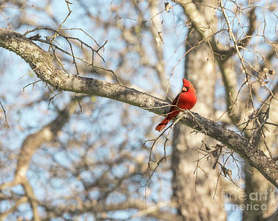 Photograph - Male Cardinal by Cathy Alba
