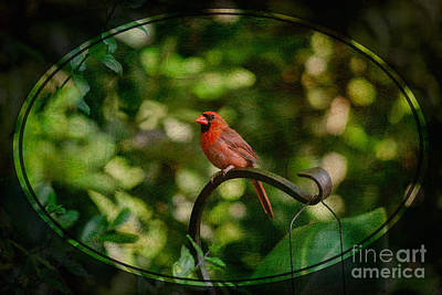 Photograph - Male Cardinal by Diane Macdonald