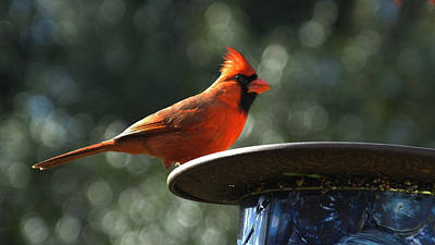 Photograph - Male Cardinal Feedingq by Judy Wanamaker