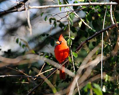 Photograph - Male Cardinal II by Jai Johnson