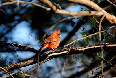 Photograph - Male Cardinal IIi by Jai Johnson