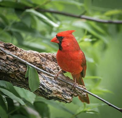 Photograph - Male Cardinal Img 6 by Bruce Pritchett