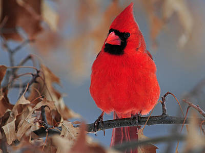 Photograph - Male Cardinal In Red Oak Tree by Mike Martin