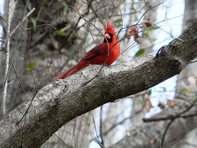 Photograph - Male Cardinal In The Wind by Belinda Lee