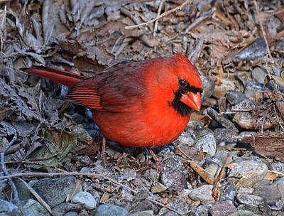 Photograph - Male Cardinal In Virginia by Ronda Ryan
