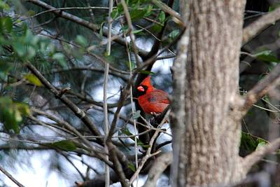 Photograph - Male Cardinal Iv by Jai Johnson