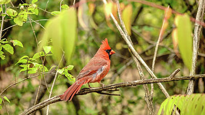 Photograph - Male Cardinal by Josef Pittner