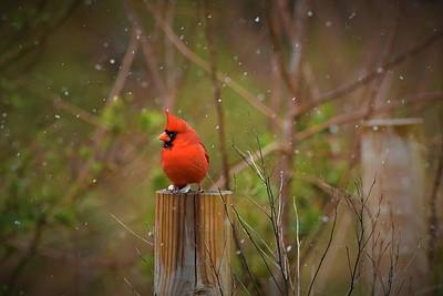 Animals Photos - Male Cardinal by Marian Wolf