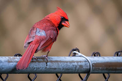 Photograph - Male Cardinal On A Fence by Terry DeLuco