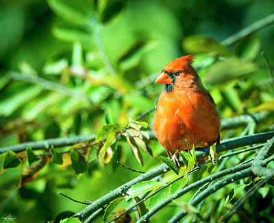 Photograph - Male Cardinal by Phil Rispin