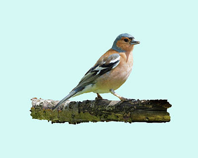 Photograph - Male Chaffinch, Blue Background by Paul Gulliver