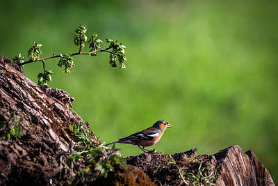 Photograph - Male Chaffinch Chatting by Framing Places