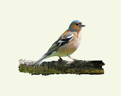 Photograph - Male Chaffinch, Cream Background by Paul Gulliver