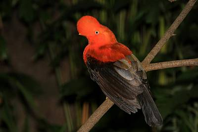 Male Cock Of The Rock Original