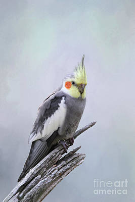 Photograph - Male Cockatiel #2 V2 by Judy Whitton