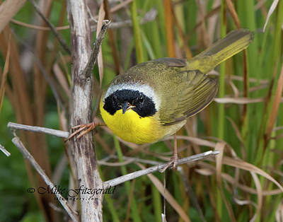 Photograph - Male Common Yellowthroat by Mike Fitzgerald