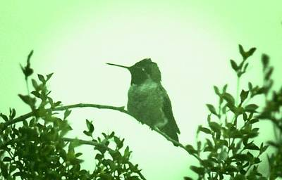 Photograph - Male Costa's Hummingbird With Green by Judy Kennedy
