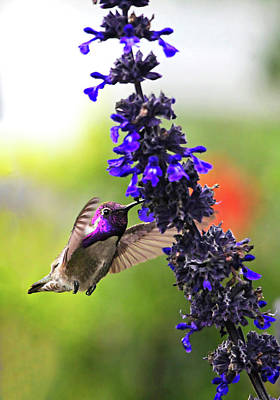 Photograph - Male Costas Hummingbird At Blue Salvia by Lynn Bauer