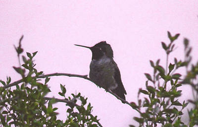 Photograph - Male Costa's Hummingbird With Mauve by Judy Kennedy