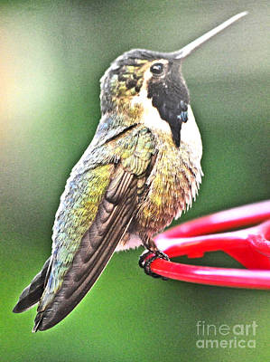 Male Costa's White Eared Hummingbird Art Print by Jay Milo