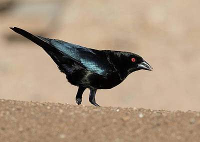 Photograph - Male Cowbird by Dee Carpenter