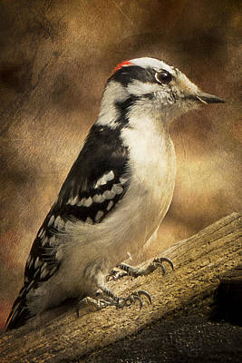 Photograph - Male Downey Woodpecker by Lauren Brice