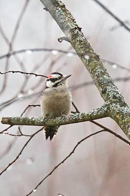 Wood Pecker Photograph - Male Downey Woodpecker by Michael Peychich