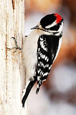 Woodpecker Photograph - Male Downy Woodpecker 3 by Larry Ricker