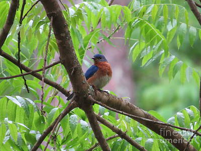 Thomas Kinkade - Male Eastern Bluebird After Rainstorm by Charles Green