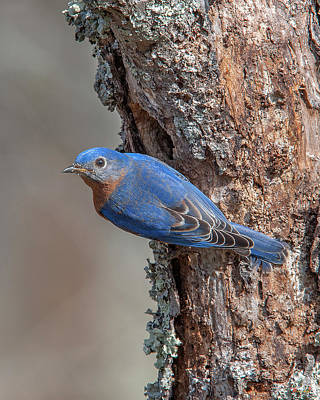 Photograph - Male Eastern Bluebird At Nest Hole Dsb0294 by Gerry Gantt