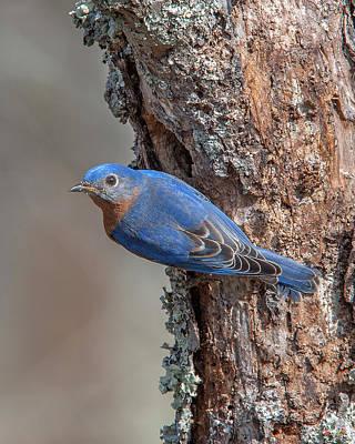 Photograph - Male Eastern Bluebird At Nest Hole Dsb0294 by Gerry Gantt