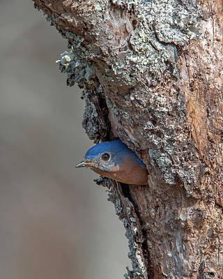 Photograph - Male Eastern Bluebird Exiting Nest Hole Dsb0297 by Gerry Gantt
