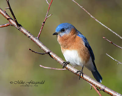 Photograph - Male Eastern Bluebird by Mike Fitzgerald