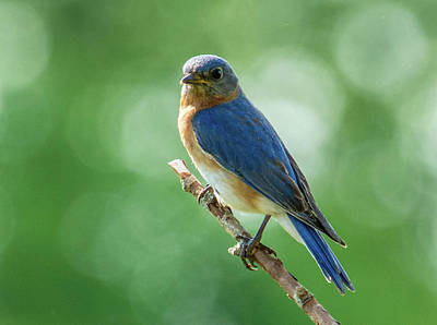 Photograph - Male Eastern Bluebird by Paul Miller