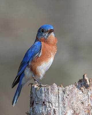 Photograph - Male Eastern Bluebird Singing Dsb0288 by Gerry Gantt