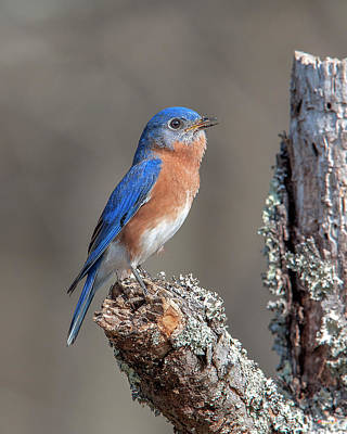 Photograph - Male Eastern Bluebird Singing Dsb0290 by Gerry Gantt