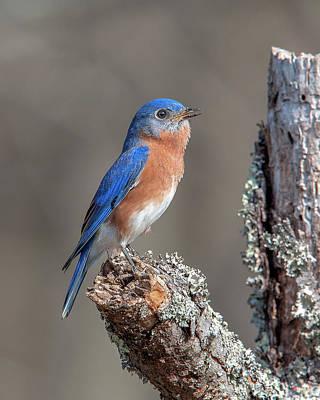 Photograph - Male Eastern Bluebird Singing Dsb0290 by Gerry Gantt