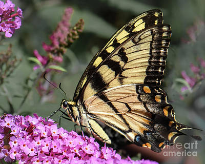 Photograph - Male Eastern Tiger Swallowtail by Amy Porter