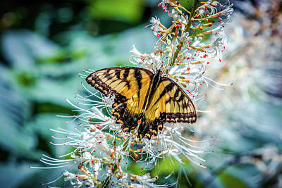 Photograph - Male Eastern Tiger Swallowtail Butterfly by Lilia D