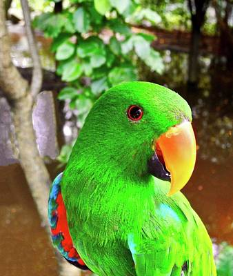 Photograph - Male Eclectus Parrot II by Kirsten Giving