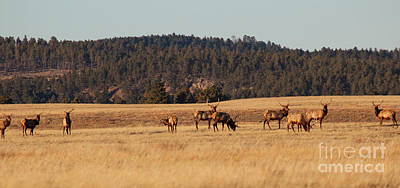 Photograph - Male Elk On Alert by Bill Gabbert