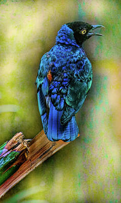 Photograph - Male Fairy Bluebird by Allen Beatty
