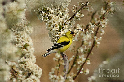 Male Finch In Blossoms Art Print by Cathy  Beharriell