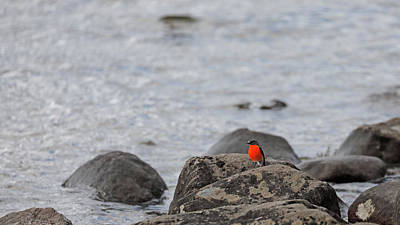 Photograph - Male Flame Robin by Nicholas Blackwell