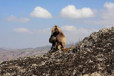 Photograph - Male Gelada Baboon by Aidan Moran
