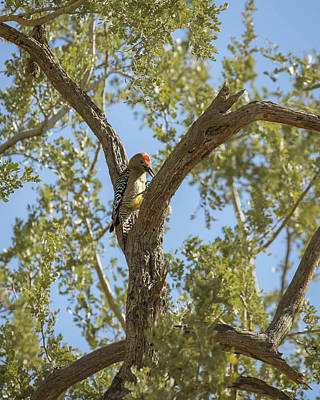 Photograph - Male Gila Woodpecker-img_352218 by Rosemary Woods-Desert Rose Images